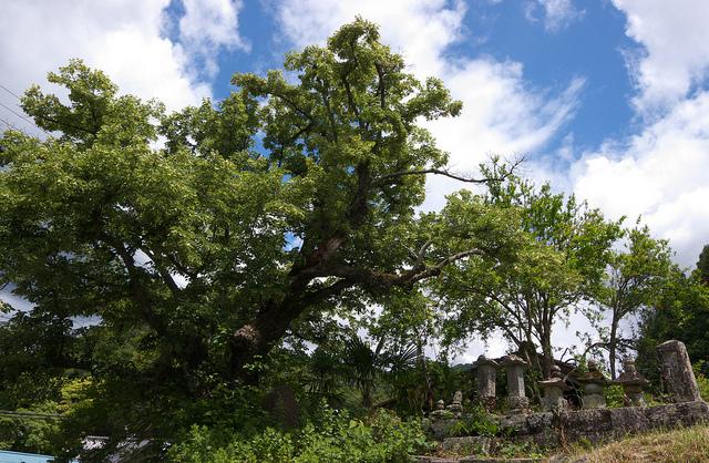 ③渋川 井伊家歴代の墓と菩提樹