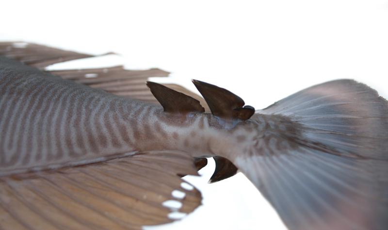 ツマリテングハギ