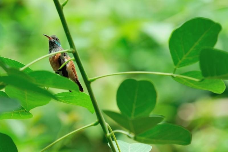 チャムネエメラルドハチドリ