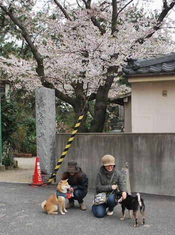 ひじきとさくら2012