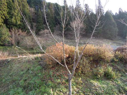 梅の木の剪定をする