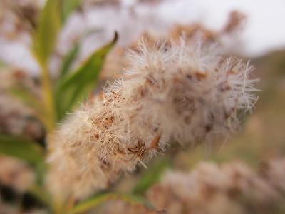セイタカアワダチソウの綿毛
