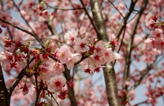 濃いピンクの桜
