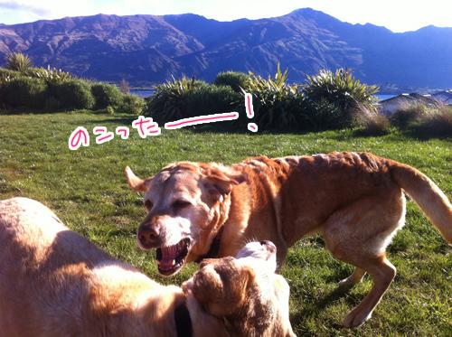 羊の国のラブラドール絵日記シニア!!仲良くケンカしな写真6