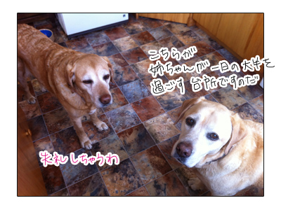 羊の国のラブラドール絵日記シニア!!写真日記「新居」2
