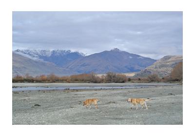 羊の国のラブラドール絵日記シニア!!写真WestWanaka5