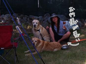 羊の国のラブラドール絵日記シニア!!写真日記キャンプハイライト7