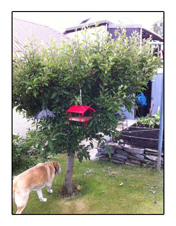 羊の国のラブラドール絵日記シニア!!写真日記「ミドルネームと庭」3