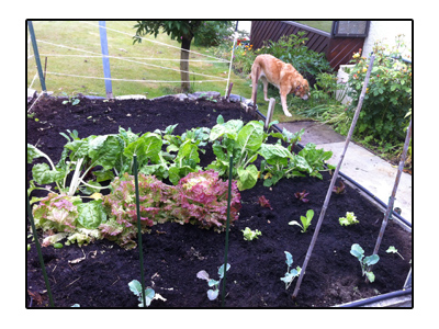 羊の国のラブラドール絵日記シニア!!写真日記「ミドルネームと庭」4