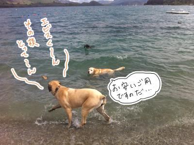 羊の国のラブラドール絵日記シニア!! 写真日記「まだまだ犬まみれ」2