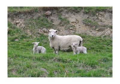 羊の国のラブラドール絵日記シニア!!写真日記Dunedin1