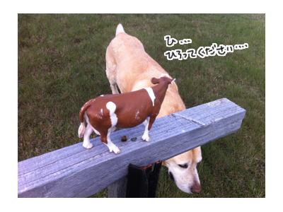 羊の国のラブラドール絵日記シニア!!写真日記迷い牛8