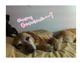 羊の国のラブラドール絵日記シニア!!クロエちゃん就寝写真2