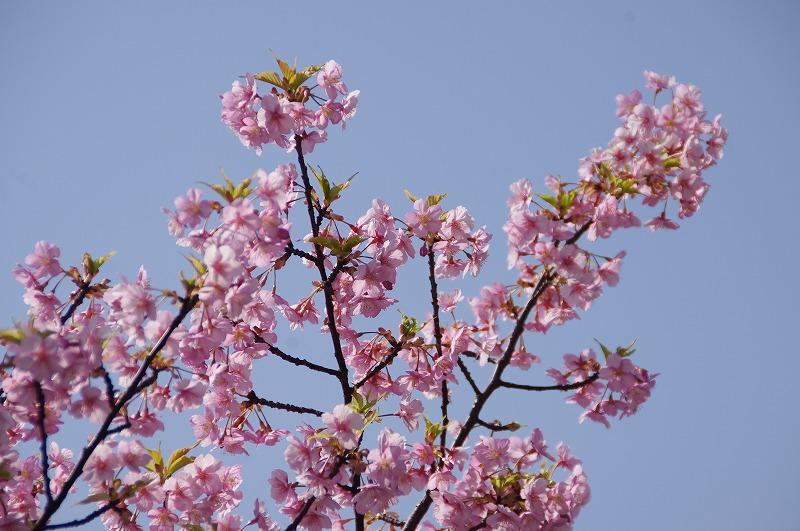 河津桜&233
