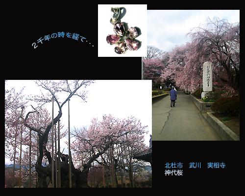 2013-3-jinndaisakura.jpg