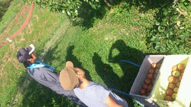 2012-09-11りんご収穫