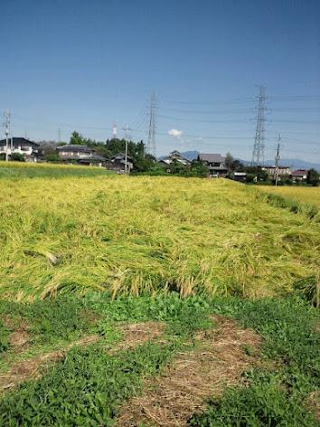 2012年9月27日倒れ稲