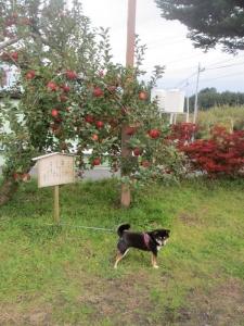 2013年11月りんご狩とグリーンゲーブル 312