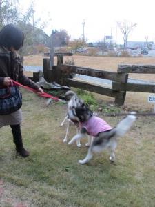 2013年11月りんご狩とグリーンゲーブル 320