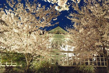 001桜癒し