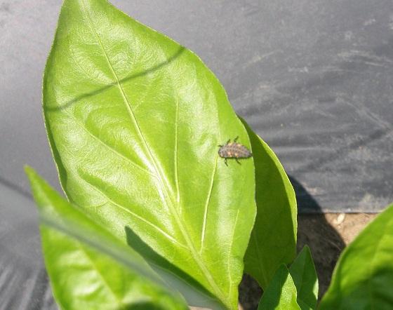 010ピーマンの葉の上てんとう虫幼虫