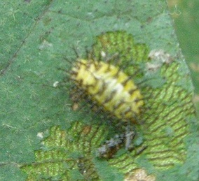 001ニジュウヤホシの幼虫2