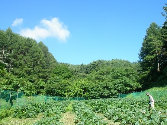 001ズッキーニ畑と夏の空