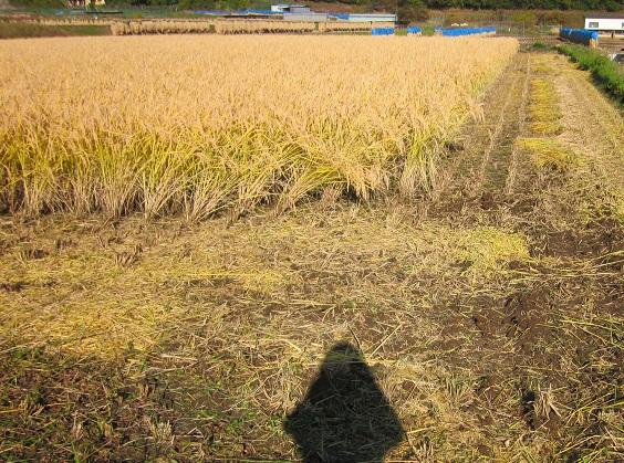 002稲刈り始まりました