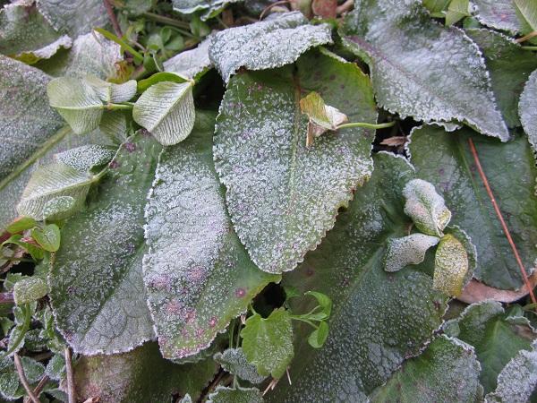 005葉っぱの霜