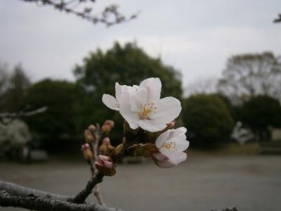 2013桜3.21