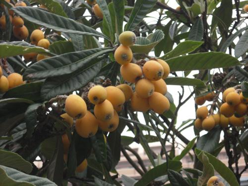 長崎の名物。高級果物。
