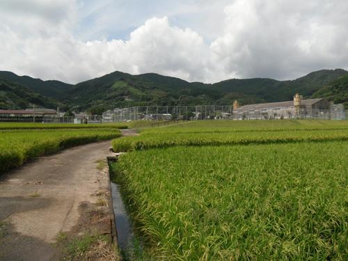水田のある風景。