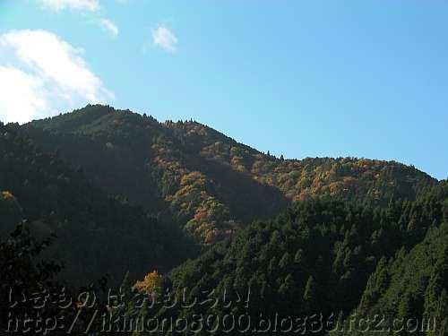 黄葉している金剛山山頂付近