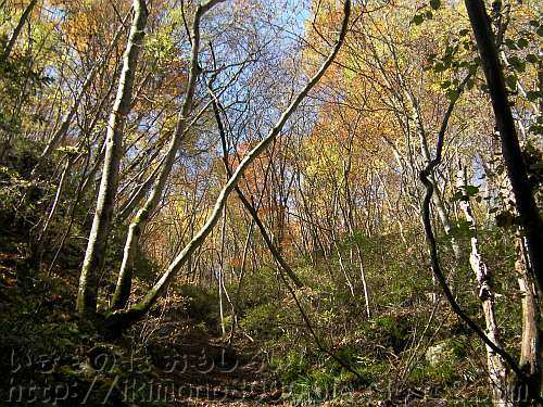 葉を落としたブナ林の向こうに見える黄色く色づいた木々