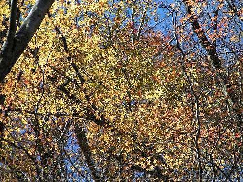 葉を落とした木々の間から見える黄色いモミジ