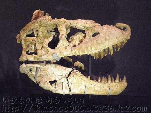 下に置かれたタルボサウルス頭「発掘! モンゴル恐竜化石展」〈大阪市立自然史博物館〉