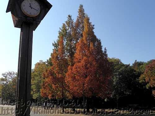 きれいに褐葉しているメタセコイア
