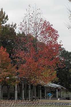 葉が大分落ちたモミジバフウ
