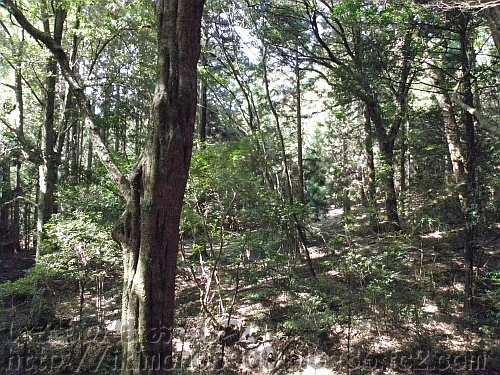 遊歩道から見た春日山原始林