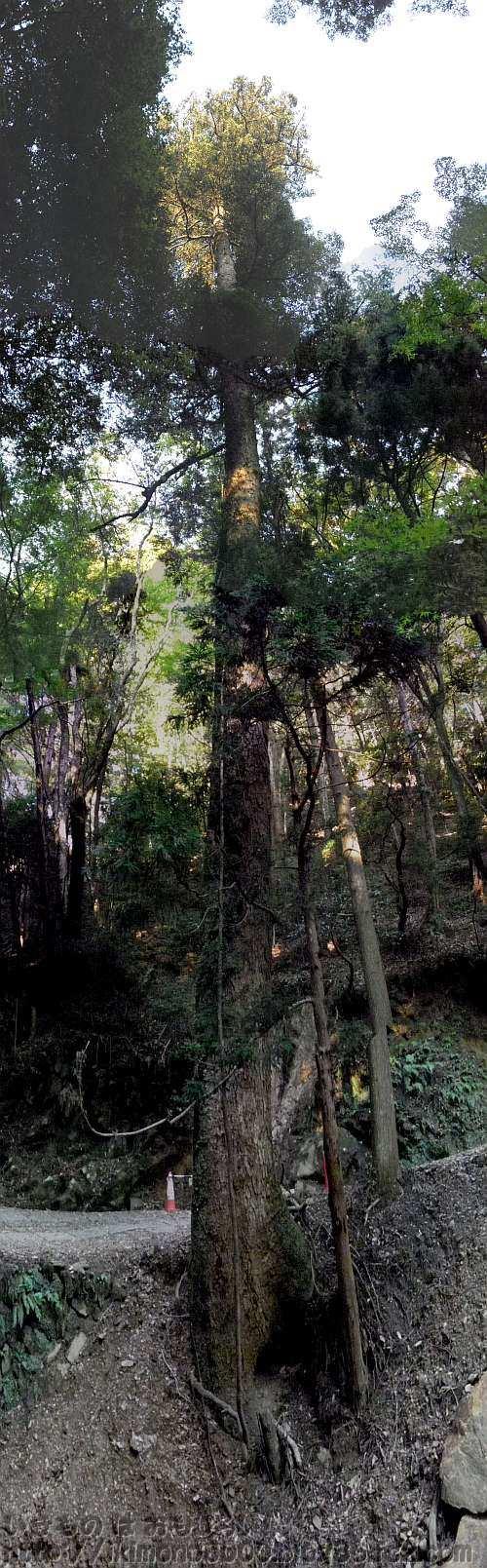 奈良公園春日山原始林の405番近くのモミ(2012年10月)