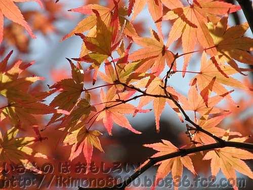陽を浴びる紅葉