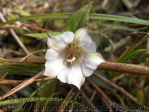 高野山のシロバナササリンドウ