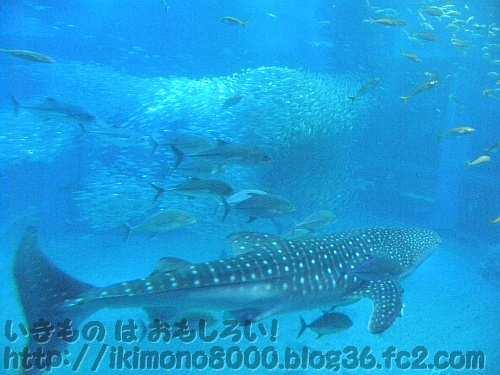 海遊館の大水槽を泳ぐジンベイザメともっと大きなイワシ(の群れ)