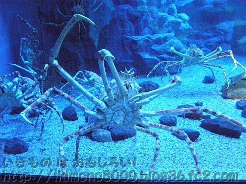巨大節足動物の海遊館のタカアシガニ