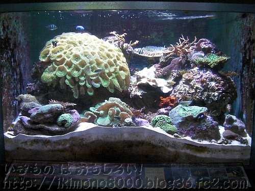 成長に光が必要な好日サンゴ