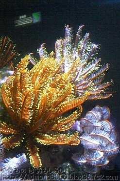 植物みたいな動物ウミシダ