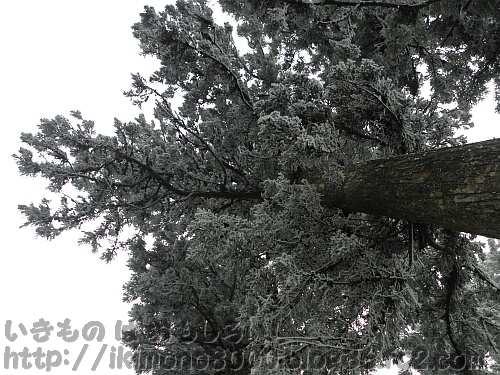 山頂広場の上の樹氷杉