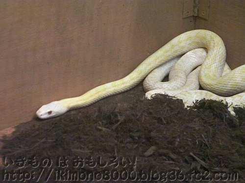 天然記念物の岩国のシロヘビ
