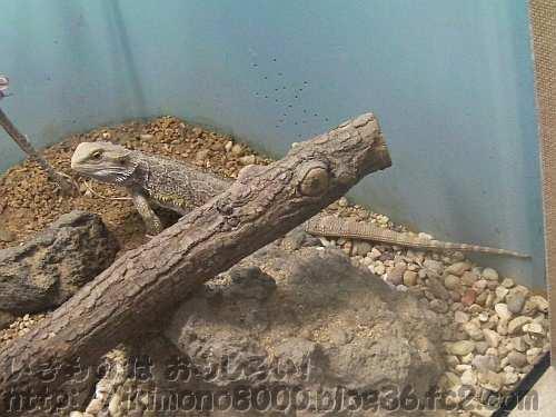 トカゲ亜目のフトアゴヒゲトカゲ〈天王寺動物園〉
