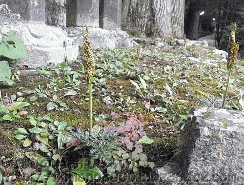 高野山奥の院の薩摩藩島津家の墓碑のオオハナワラビ